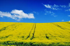 Canola field, rapeseed Royalty Free Stock Image