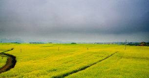 Canola field, rapeseed flower field with the mist in Luoping royalty free stock photo