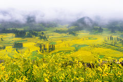 Canola field, rapeseed flower field with morning fog in Luoping. Stock Photos