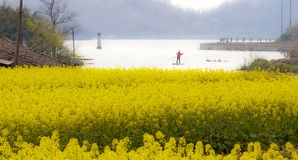 Canola field and river Stock Images