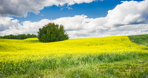 Canola field. Rural agricultural landscape with canola field adjoined to cereal field in Alberta, Canada stock photos