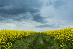 Canola field in rural area Royalty Free Stock Photo