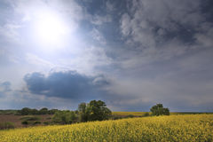 Canola field in rural area Stock Photo