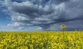Canola field in rural area Royalty Free Stock Image