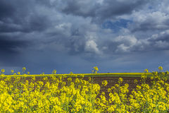 Canola field in rural area Stock Photos