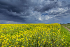 Canola field in rural area Royalty Free Stock Photos
