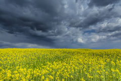 Canola field in rural area Royalty Free Stock Images