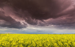 Canola field in rural area Stock Image