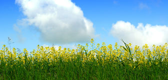 Canola Field and Sky Royalty Free Stock Images