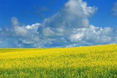 Canola Field and Sky Royalty Free Stock Image