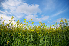 Canola field and sky with clouds Stock Image