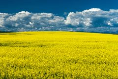 Canola field in Southern Alberta, Canada. Yellow canola field in Southern Alberta, Canada stock photography