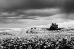 Canola Field in storm stock images