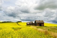 Canola field in sumer with four old granaries Royalty Free Stock Photos