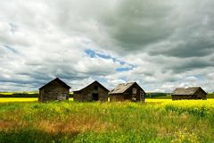 Canola field in sumer with four old granaries Royalty Free Stock Image