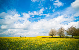 Canola Field In Summer Stock Photos