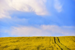 Canola field in the summer. Blooming rapeseed Stock Photo