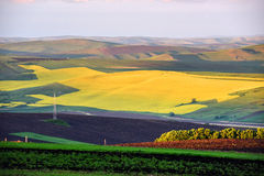 Canola field in the summer Stock Image
