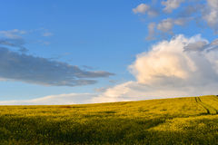 Canola field in the summer. Stock Photography