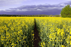 Canola field, summer rape Royalty Free Stock Images