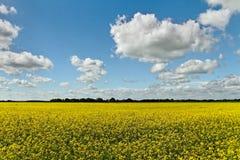 Canola field. Stock Photo