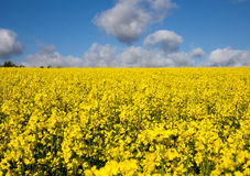 Canola field in summer with yellow flowers and blue sky Stock Photography