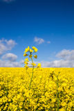 Canola field in summer with yellow flowers and blue sky Royalty Free Stock Image