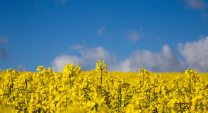 Canola field in summer with yellow flowers and blue sky.  Royalty Free Stock Images
