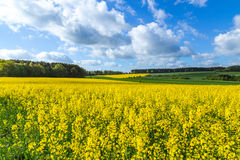 Canola field in summer with yellow flowers and blue sky Royalty Free Stock Photos