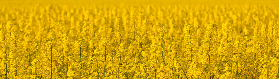 Canola field on a sunny spring afternoon Stock Photos