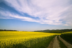 Canola Field third. Vibrant colors near the canola field Stock Photography