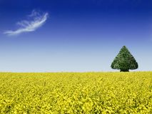 canola field with tree Stock Photos