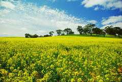 Canola field with trees Stock Photography
