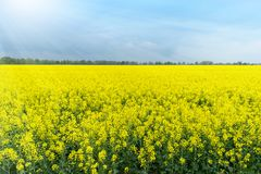 Canola Field under blue Sky royalty free stock image