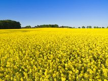 Canola Field under Blue Sky Stock Photo