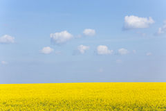 Canola Field under Blue Sky. In Ukraine Stock Photo