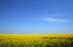 Canola field under blue sky. Yellow field of canola under blue sky with a bit of clouds Royalty Free Stock Image