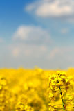 Canola field under blue sky. Yellow field of canola under blue sky with a bit of clouds with flower in the foreground and shallow depth of field Stock Photography