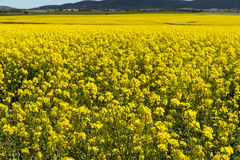 Canola field. A view across a Canola field in New South Wales Australia, with the foreground in focus. copyspace Royalty Free Stock Images