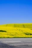 Canola field royalty free stock photography