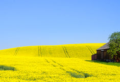 Canola field. Yellow blooming canola field in spring royalty free stock photo