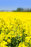 Canola field. Yellow blooming canola field in spring royalty free stock image