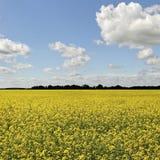 Canola field. Stock Image