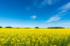 Canola field. With yellow flowers against blue sky and white clouds background Royalty Free Stock Images
