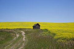 Canola Field. A Field of yellow flowers of canola plant on a bright sunny day Royalty Free Stock Photography