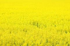 Canola Field, Yellow Rape Flowers