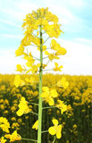 Canola field, yellow rape flowers Stock Photo
