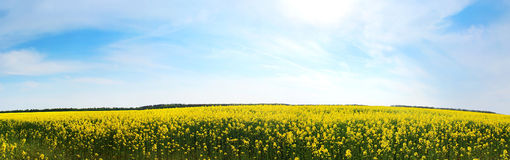 Canola field, yellow rape flowers Royalty Free Stock Images