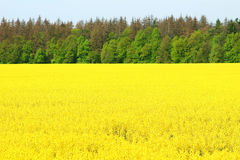 Canola field, yellow flowers Royalty Free Stock Images