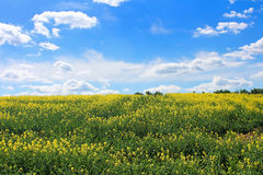 Canola field, yellow rape flowers Royalty Free Stock Photos